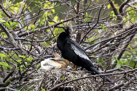 Anhinga and chicks  Male anhinga nesting with his babies  Stock Photo