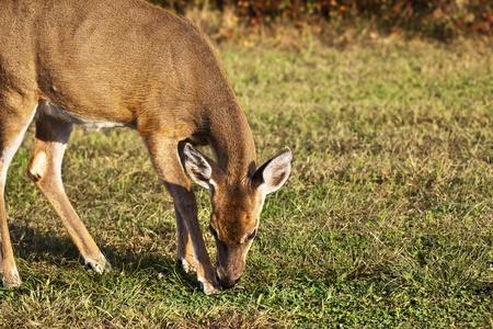 White Tail Deer Feeding at Heckscher state park  Long Island, New York