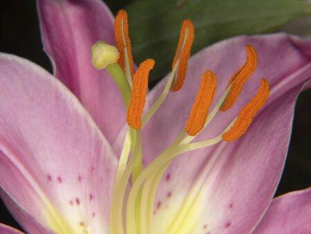 Close up of a lavender Lily  Stock Photo