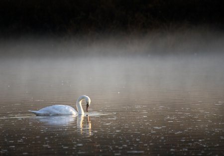 mute swan: Mute swan and Reflection in early morning with steam rising from the river