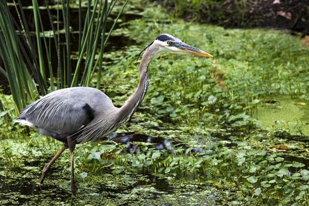 Great Blue Heron in marshlands  Photographed at Wakodahatchee Wetlands, Delray Beach, Florida Stock Photo