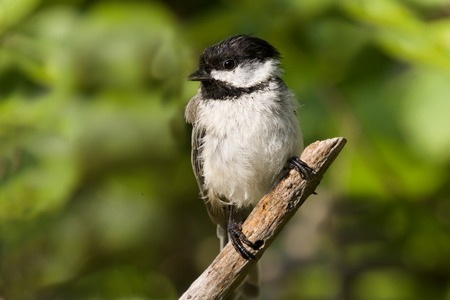 close of a Black capped chickadee perched on a branch