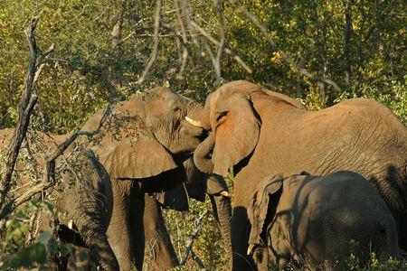 africa kiss: Elephants