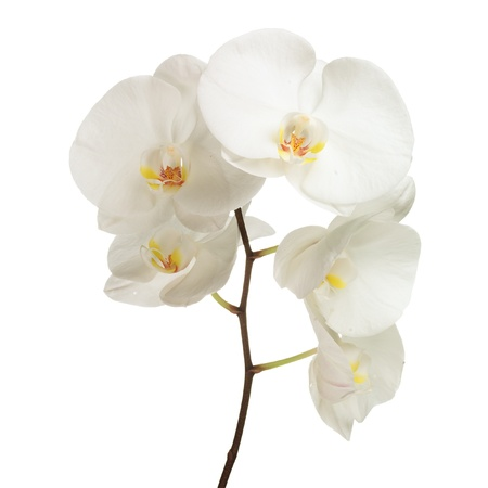 white orchid on white photo