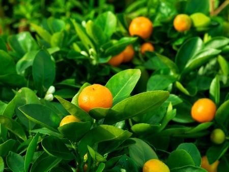 tangerine tree: mandarin in nature, shallow DOF