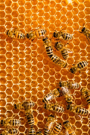 Close up view of the working bees on honeycells. Stock Photo - 14086540