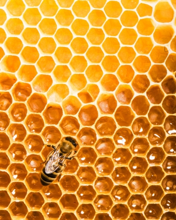 One bee works on honeycomb