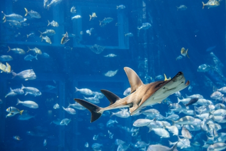 dangerous reef: a large grey shark Stock Photo