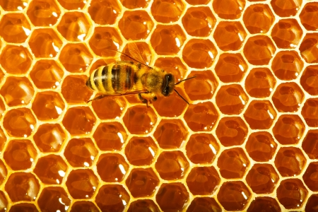 One bee works on honeycomb Stock Photo - 14163776