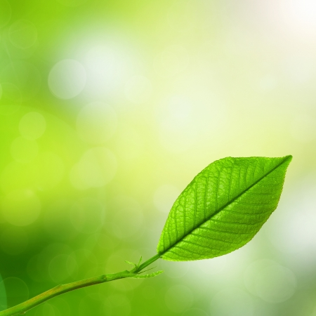photosynthesis: green young spring leaf isolated, high resolution macro Stock Photo