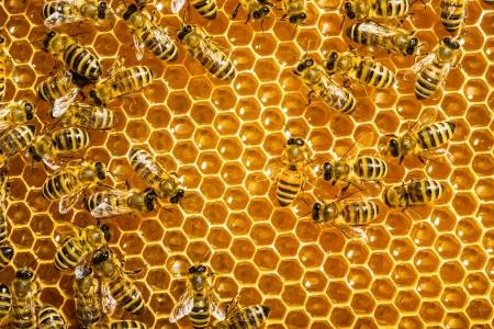 miel de abeja: abejas trabajar en nido de abeja Foto de archivo