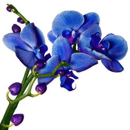 purple flowers: Orchid phalaenopsis beautifiul flowers isolated on white Stock Photo