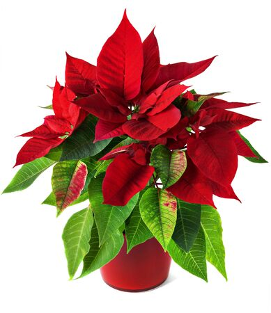 isolated on green: Red and green poinsettia plant for Christmas isolated on white background.