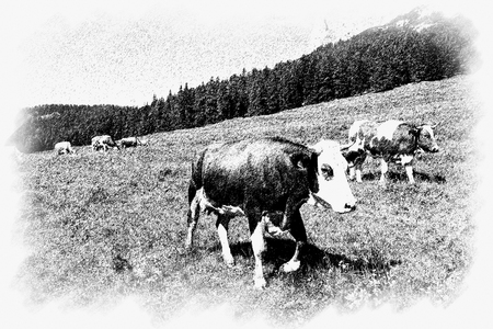A couple of cow walking alongside in the farm, Misurina, Cortina D'Ampezzo, South Tyrol, Dolomites, Italy. 版權商用圖片 - 124269492