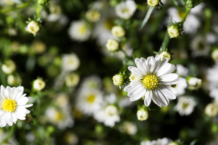 compile: Many white daisies in top view of meadow. Chamomile field. Close up.
