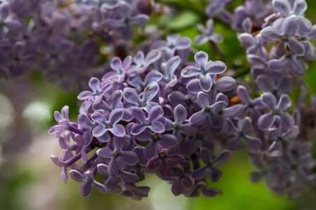 Lilac bush, lilac flowers, natural seasonal floral background. Can be used as holiday card with copy space