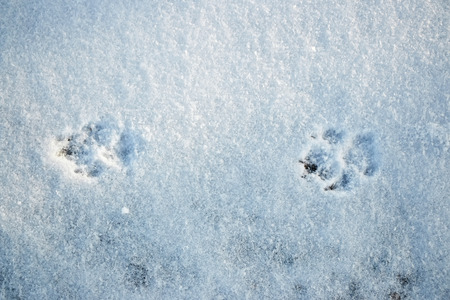 Dog footprints in the snow photo