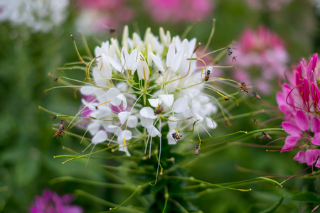 spider flower white or cleome spinosa It is a beautiful natural vegetation. bees absorb the sweet water of pollen.