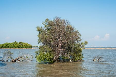 absract: Tree in the water at mangrove forest.