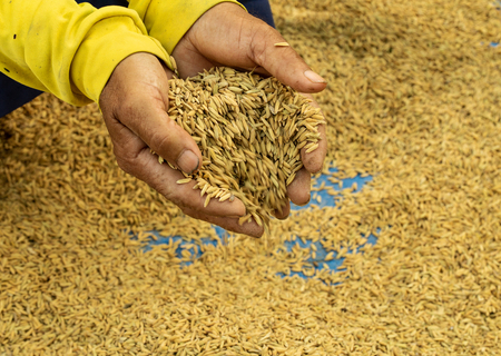 Rice seeds on man farmer hands on paddy background, a higher quality of rice. Agriculture harvest growth. Ripe food. Farmer work to prepare farm before rice planting. Crop on farm.