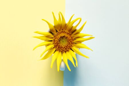 Creativity of sunflower with cup on pastel pink and blue background. Minimal idea summer concept. top view
