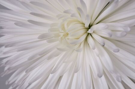 Close up of a Chrysant Stock Photo