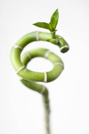 A twisted bamboo plant