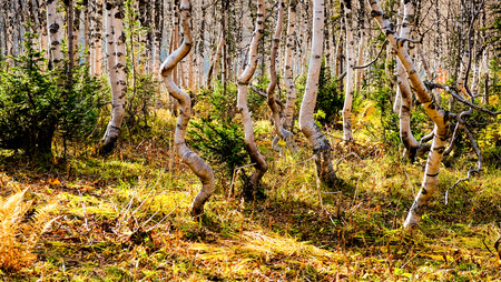 Curves of birch in the forest