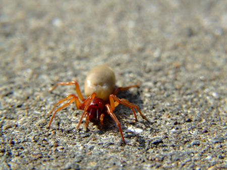 exclusively: The Woodlouse Spider (Dysdera crocata) is a species of spider that preys exclusively upon woodlice