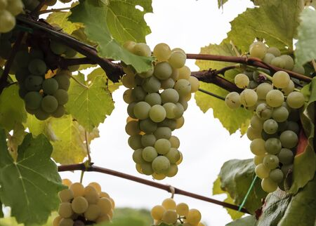 outumn: Grapes in Nature