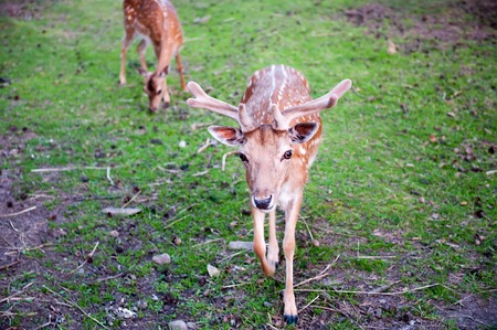 Two brown deers on the grass grazing