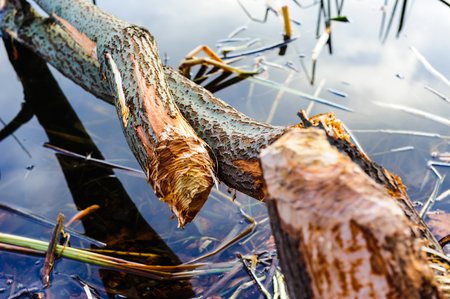 felled: Tree, felled by the beaver and lying in water Stock Photo