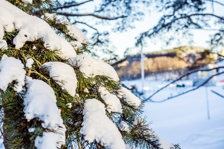 snowscene: Pine branch with snow on a sunny day