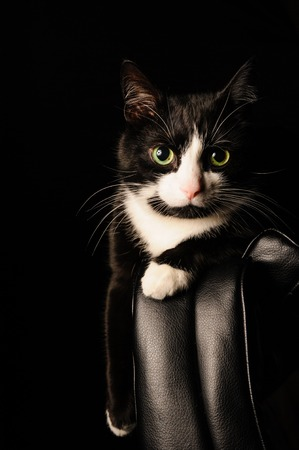 black and white cat with serious look and green eyes lies on a chair. concept about pets and animals