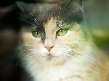 A cat looks at the camera with a three-colored wool with green eyes. Very cute and gentle pet is the concept of the owners love for his animal and for protecting the environment.