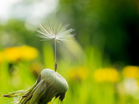 Dandelion one last seed of a parachute on a flower is a symbol of loneliness or perseverance and fortitude. The dandelion parachute has got stuck in a web Reklamní fotografie