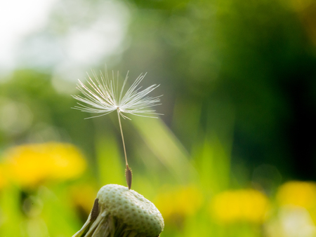 Dandelion last seed of a parachute on a flower is a symbol of loneliness or perseverance and fortitude. The dandelion parachute has got stuck in a web Reklamní fotografie