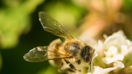 bee at work on white clover flower collecting pollen A four leaves clover