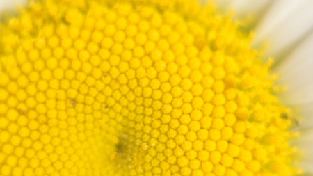 center of a daisy flower is a matrix of yellow stamens. Macro photography as a distinct vegetative natural background on the theme of environmental protection. Stock Photo