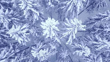 Video aéreo con zoom de cámara hacia abajo del hermoso bosque cubierto de nieve de pino azul de invierno en 4K