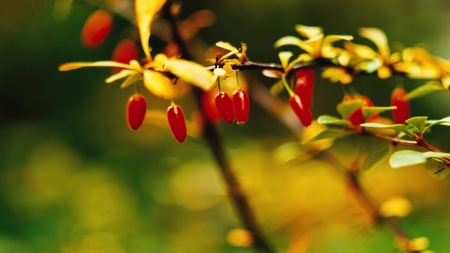 Barberry red berries on a green background sliding focus
