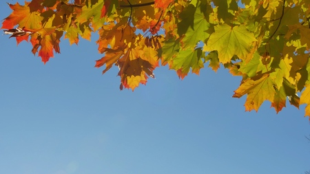 Autumn colorful bright branch tree with bright foliage on a blue sky background