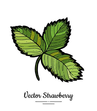 Strawberry leaves vector isolated. Green leaf hand drawn illustration. Trendy food vegetarian menu, icon. Whole strawberry berry leaves. Vector natural fruits illustration isolated, white background Ilustração