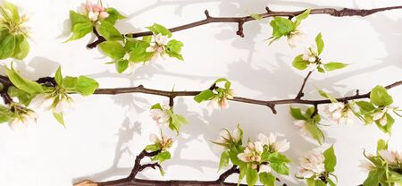 Apple tree blossom branch white background flat lay. White flowering buds top view template long web banner. Copy space backdrop mockup design. Floral spring frame fresh flowers invitation concept