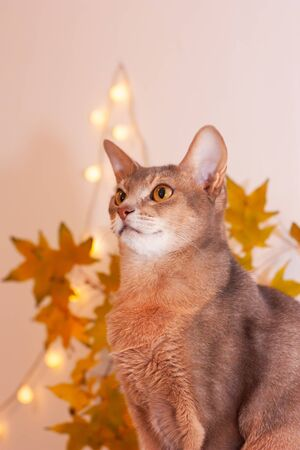 Cat home in white room with blank wall. Clean wall with light garland, yellow maple leasves. Abyssinian cat, sitting on bookshelf. Cozy white interior, autumn concept. Space for text, selective focus.
