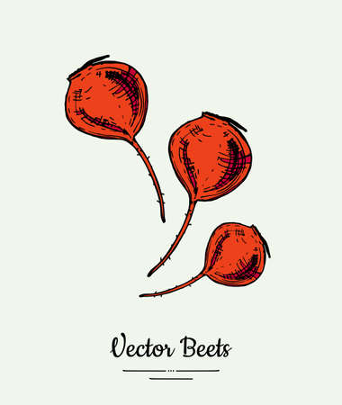Beet vegetable vector isolate. Red whole beetroot. Vegetables hand drawn illustration. Trendy food vegetarian sweet purple beetroot icon logo poster, banner, sketch style. Vector illustration isolated