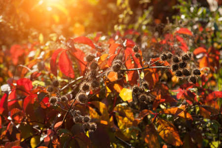 Sunset and wild grasses. Sunlight through five-leaved ivy red foliage. Yellow, red, green leaves in the sunlight. Beautiful background with red leaves on meadow. Natural background sun, rays, glare.