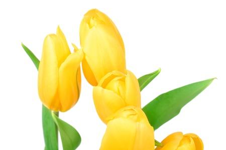 tulips isolated on white background: Yellow Tulips Spring Flowers Isolated on white background.