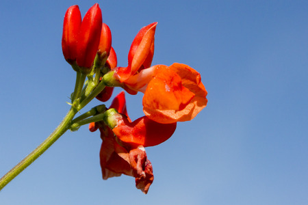 runner bean: Red flowers of a runner bean plant against a blue sky background