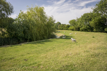 bordered: Sheep grazing by the edge of a stream bordered by trees